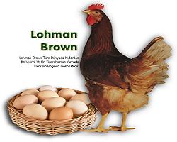 lohman brown